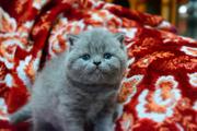Британские Породистые котята без примесей других пород