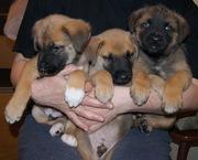 Чудесные щеночки хотят обрести любящую семью!!!