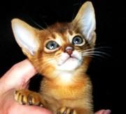 Абиссинские котята Питомник абиссинских кошек sunnybunny