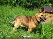 Классный пес Байкал в надежные руки!